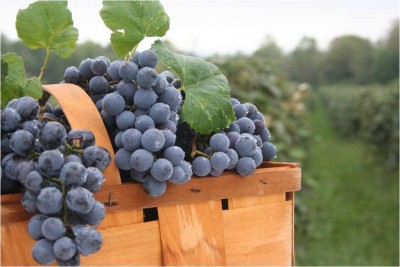 Basket-of-concord-grapes