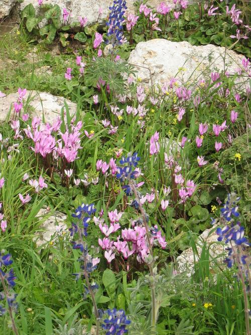 Turmusim (Lupines) and Cyclamens